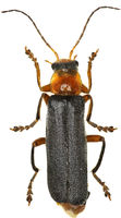 Soldier Beetle on white Background  -  Cantharis pellucida (Fabricius, 1792)