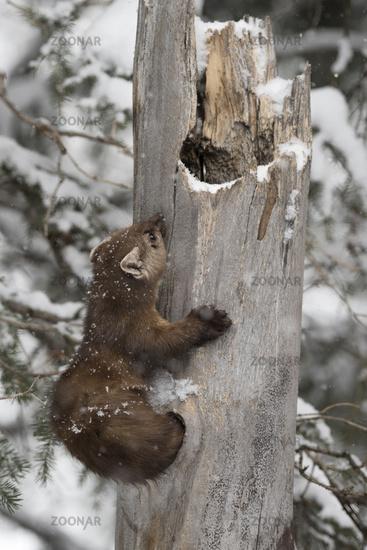 climbing out of its dense... American Pine Marten *Martes americana*