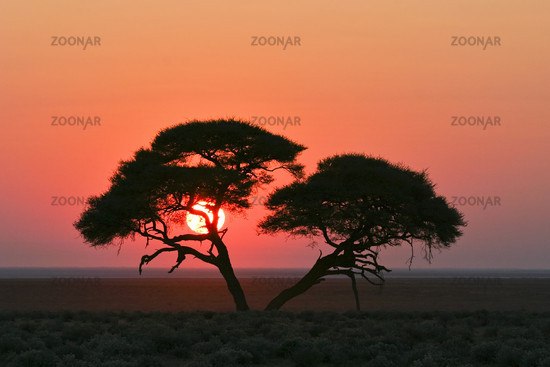 Acacia at sunrise, Etosha National Park, Namibia, Africa