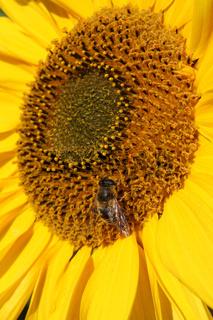 Detailansicht einer Sonnenblume