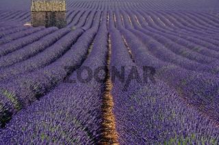 Haus im Lavendel, Plateau Valensole, Provence, Frankreich
