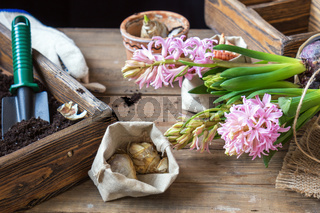 Gardening and planting concept. Woman hands planting hyacinth in ceramic pot. Seedlings garden tools, tubers (bulbs) gladiolus and hyacinth, flowers pink hyacinth. Toned and processing photo.