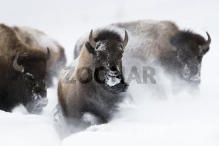 Stampede...  Amerikanische Bisons *Bison bison*stürmen durch frischen Schnee