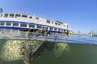 Europaeischer Seehund beim Training, Phoca vitulina vitulina,  Common Seal during training