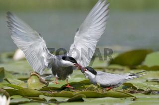 Beuteübergabe der Weißbartseeschwalben / Whiskered Tern / Chlido