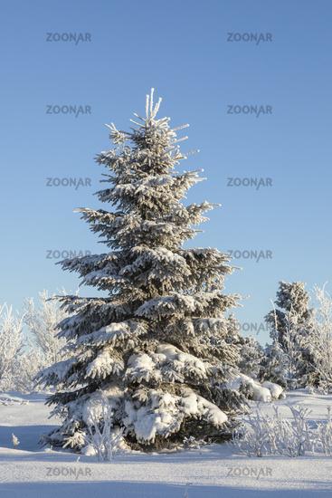 Spruce tree with hoarfrost in winter landscape