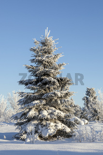 Winter Spruce tree