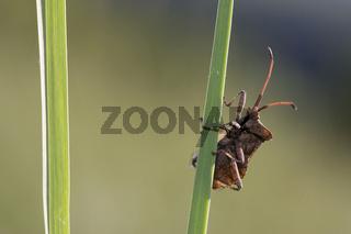 Lederwanze, Coreus marginatus,  Squash bug