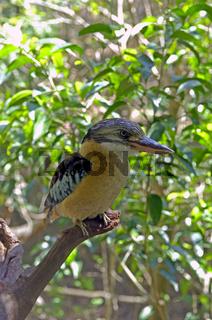 Blauflügel Kookaburra, Dacelo leachii, Northern Territory, Australien