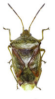 Birch Shield Bug on white Background  -  Elasmostethus interstinctus (Linnaeus, 1758)