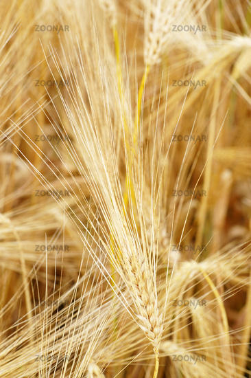 Cereal Grains Close-up