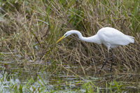 European Great White Egret hunting, Ardea alba, Silberreiher