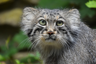 Close up portrait of manul Pallas cat