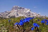 Spring gentian in the Dolomites
