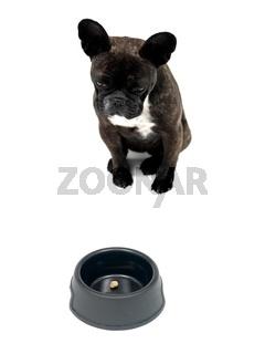 Hungrige Franzoesische Bulldogge