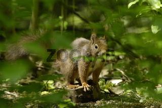 Eichhörnchen versteckt im Wald