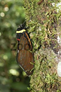 Emporer Cicada