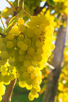 Bright ripe grapes hang on a vine, litfully lit by the warm morning sun