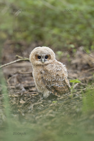 young and cute... Tawny Owl *Strix aluco*