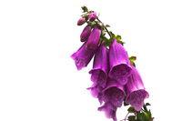 Trumpet blossom in purple