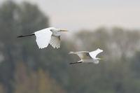 European Great White Egret pair flying, Ardea alba, Silberreiher