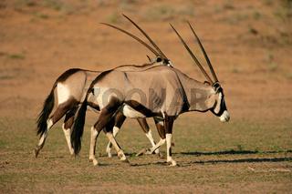Gemsbok antelopes