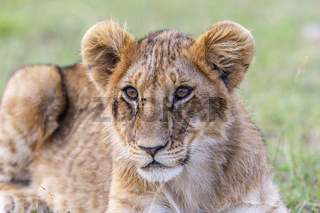 Curious lion cub lying and resting in the savannah