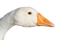 Head of the goose