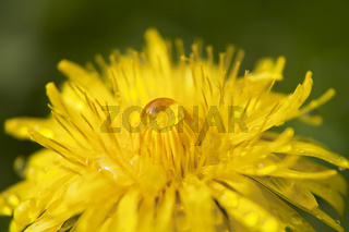 yellow dandelion after rain on the green background