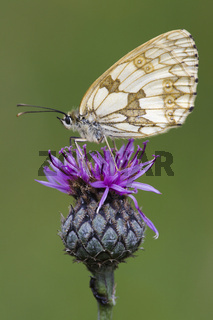 Schachbrettfalter, (Melanargia galathea), Marbled White