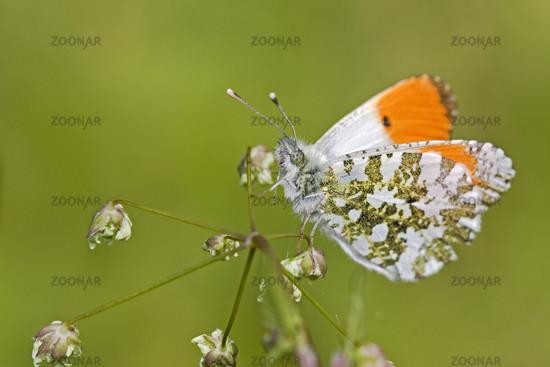 UK Berkshire Orange Tip Butterfly