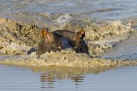 Flusspferd, hippopotamus amphibius, Nilpferd