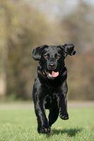 running black labrador retriever dog