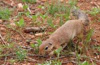 squirrel in Africa