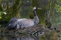 Common Crane, (Grus grus), incubating, Mecklenburg-Western Pomerania, Germany, Europe