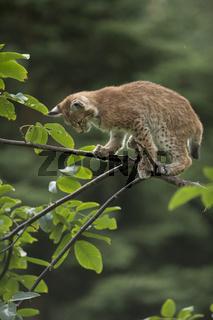 ein wenig ängstlich... Eurasischer Luchs *Lynx lynx*