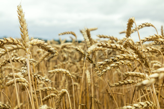 Agricultural fragmental panorama of the wheat field. Ripe wheat and wild flowers close-up. Shallow depth of field. Toned.