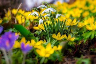 Frühlingsbote Schneeglöckchen