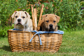 Welpe im Picknickkorb