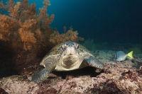 Gruene Meeresschildkroete, Galapagos, Ecuador