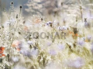 sommerwiese mohn kornblumen gräser