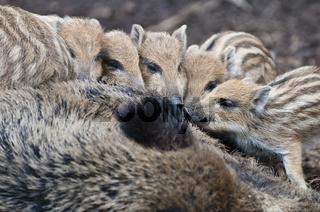 Wildschwein, Sus scrofa, mit Frischlingen