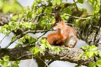 Red Squirrel 25