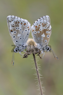 Silbergrüner Bläuling (Polyommatus coridon).jpg