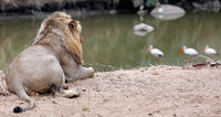 lion watching birds at a river, South Africa