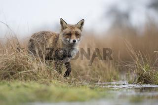 überschwemmte Wiesen... Rotfuchs *Vulpes vulpes*