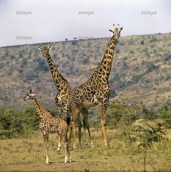Giraffa camelopardalis, Masai Mara, Afrika