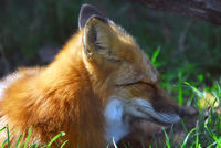 A close-up portrait of a Red Fox at rest