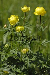 Trollblume (Trollius europaeus) Globe Flower