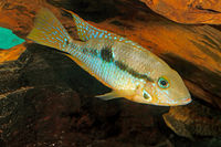 Yellow Fire Mouth (Thorichthys affinis) - female